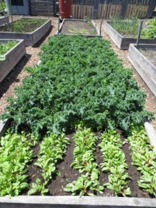 Kale is a popular crop